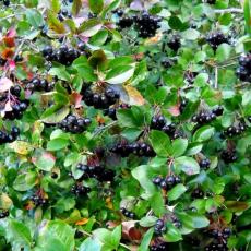 Черноплодная рябина (Арония черноплодная)
