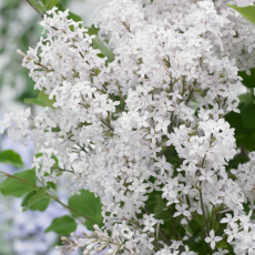 Сирень Мейера Flowerfesta White (Флауэрфест Вайт)
