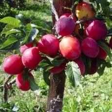 Персиковая (Красная нектарина, Рояль-руж)