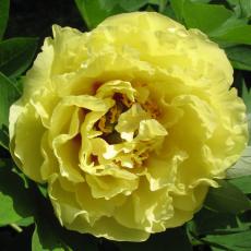 Йелоу Кроун / Yellow Crown